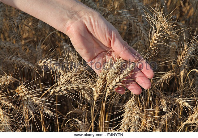 female-agronomist-hand-holding-wheat-crop-e4nytn